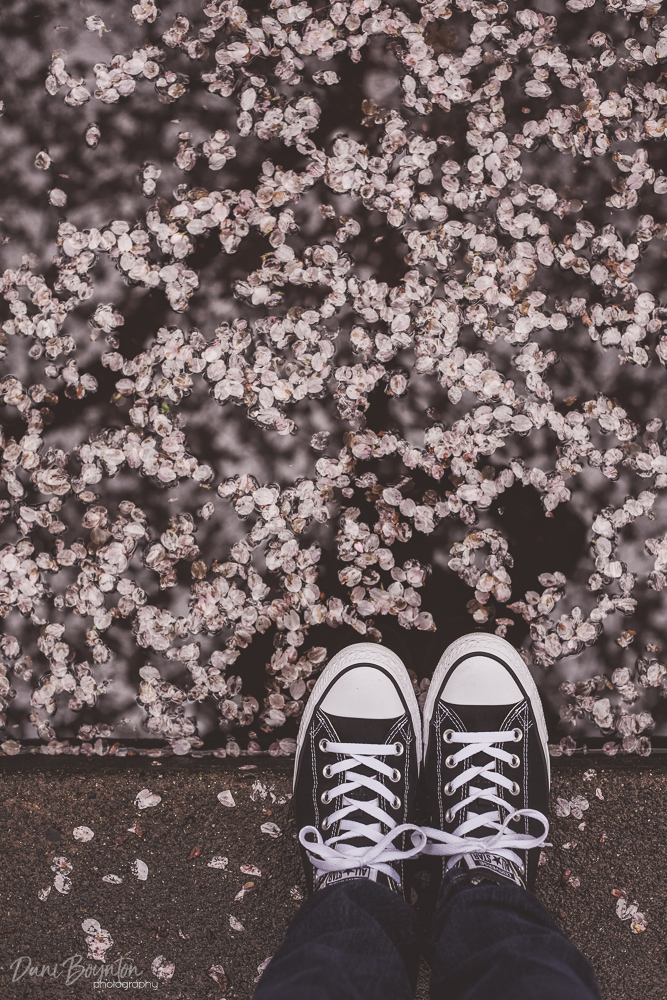 cherry-blossoms-1
