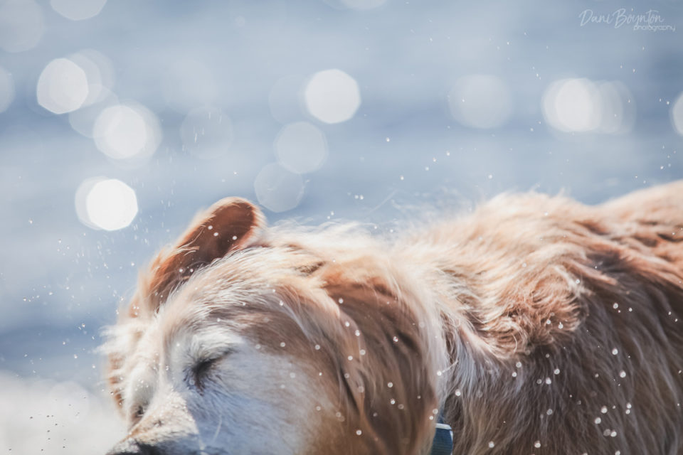 Lucy the Golden Retriever – Dog Photography in Parksville, BC